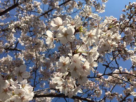 桜〆.jpg