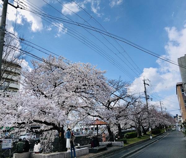桜⑤並木.JPG