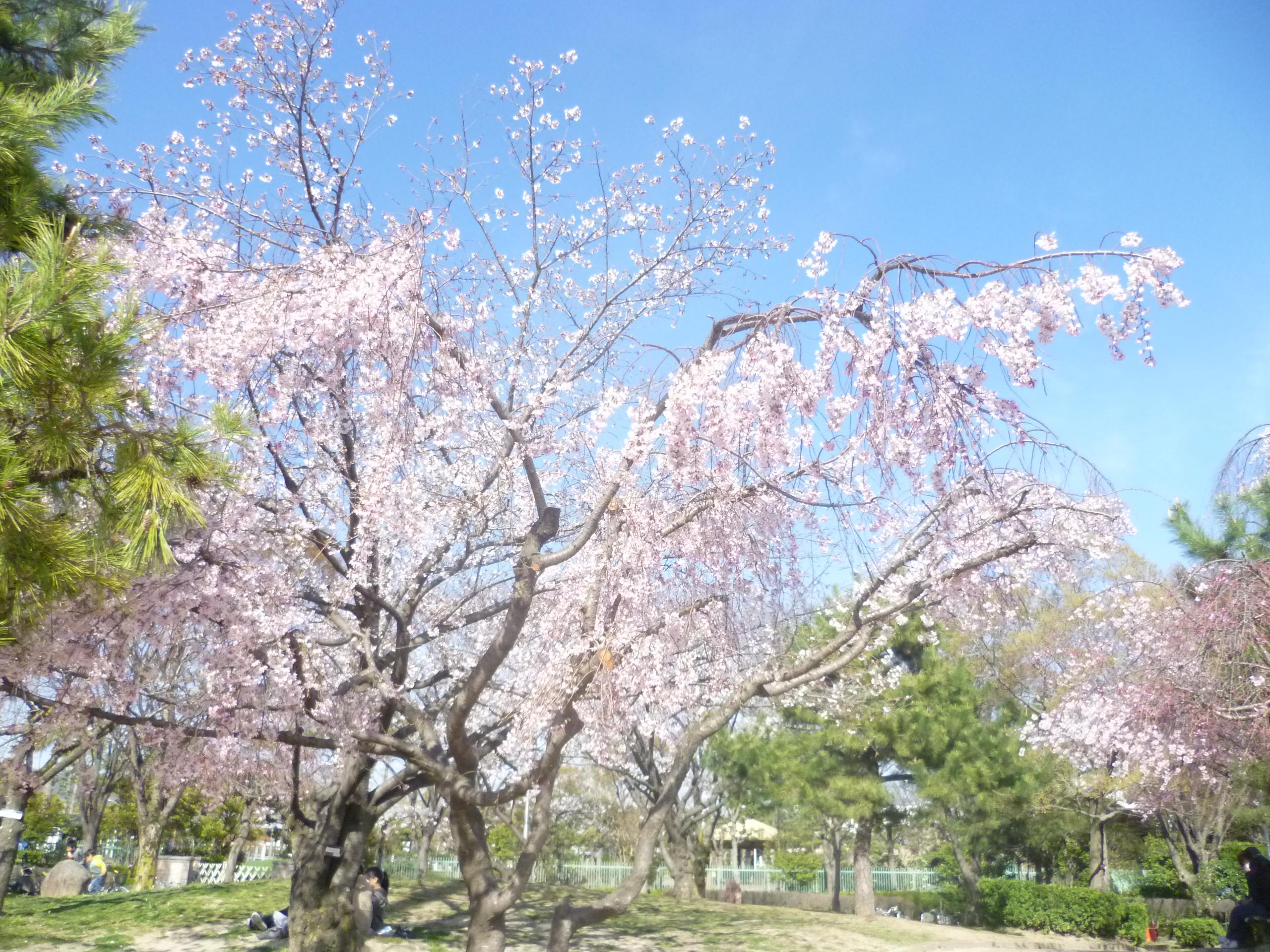 http://www.supercourt.jp/blog/kawanishi/%E6%A1%9C.JPG