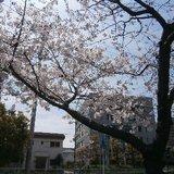 11_sakura.JPG