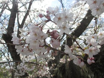 sakura (12).JPG