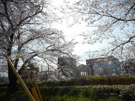 いい感じの桜.jpg
