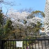 桜単体.JPG
